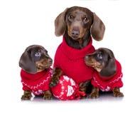 小狗达克斯猎犬和新年` s小狗 库存图片