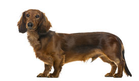 小狗达克斯猎犬身分, 6个月, 库存图片
