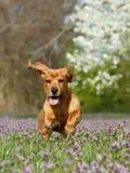 小狗运行中 免版税图库摄影