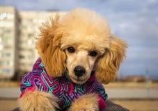 小狗长卷毛狗在冬天衣裳的桃子颜色,神色 库存图片