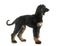 小狗阿富汗猎犬 库存图片