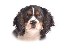 小狗面孔 免版税库存照片