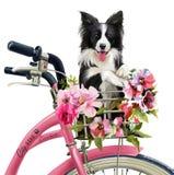 小狗骑自行车者水彩绘画 免版税库存照片