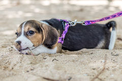小狗,使用在海滩的小猎犬小狗热带海岛巴厘岛,印度尼西亚 库存照片