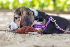 小狗,使用在海滩的小猎犬小狗热带海岛巴厘岛,印度尼西亚 免版税库存图片
