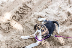 小狗,使用在海滩的小猎犬小狗热带海岛巴厘岛,印度尼西亚 免版税图库摄影