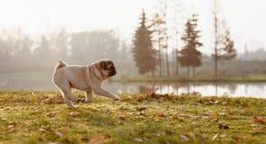 小狗,哈巴狗在一个湖附近跑在秋天、好日子在金黄小时和傍晚 免版税库存照片