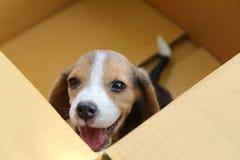 小狗& x28; 小猎犬dog& x29;在一个棕色箱子 免版税库存图片