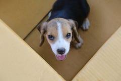 小狗& x28; 小猎犬dog& x29;在一个棕色箱子 免版税库存照片