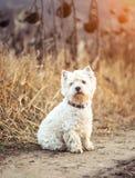 小狗养殖白色狗 免版税库存照片