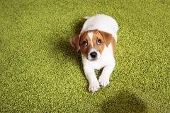 小狗说谎在地毯和查寻gui的杰克罗素狗 库存照片