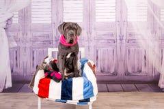 小狗说谎在椅子的Neapolitana大型猛犬 训练狗从童年的训犬者 库存照片