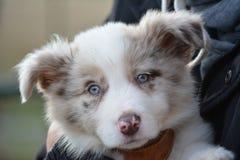 小狗画象与蓝眼睛的 免版税库存图片
