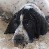 小狗Braque d'Auvergne 免版税图库摄影