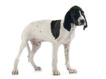 小狗Braque d'Auvergne 库存图片