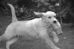 小狗Jessie 免版税图库摄影