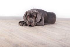 小狗Neapolitana mastino,坐地板在演播室 训练狗从童年的训犬者 免版税库存照片