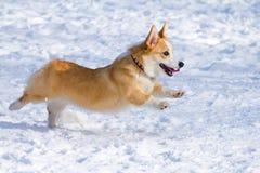 小狗pembroke威尔士 图库摄影