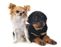 小狗rottweiler和奇瓦瓦狗 库存图片