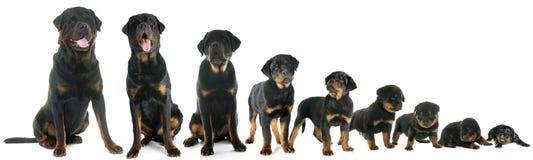 小狗rottweiler成长  免版税图库摄影
