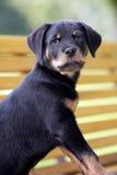 小狗rottweiler 图库摄影