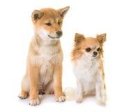 小狗shiba inu和奇瓦瓦狗 图库摄影