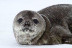 小狗Weddell封印春天南极州的画象 库存照片