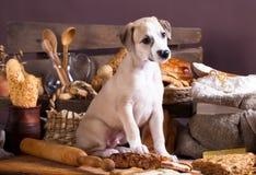 小狗whippet和吃面包 库存图片