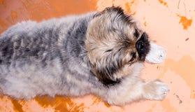 小狮子狗狗 免版税库存照片