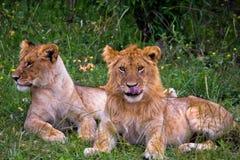 小狮子的雌狮 免版税库存图片