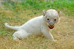 小狮子 免版税库存图片