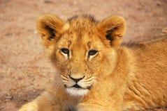 小狮子 库存图片