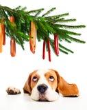 小猎犬和它的圣诞节梦想 库存照片