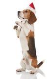 小猎犬圣诞节 免版税图库摄影