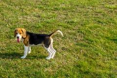 小猎犬在公园 免版税库存照片