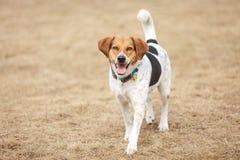 小猎犬在公园 免版税图库摄影