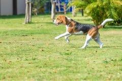 小猎犬奔跑 图库摄影