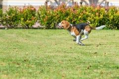 小猎犬奔跑 免版税库存图片