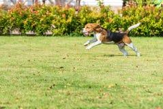 小猎犬奔跑 免版税库存照片