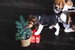 小猎犬小狗嗅圣诞树 免版税库存照片