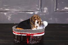 小猎犬小狗在与玩具的篮子坐 免版税库存照片