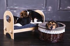 小猎犬小狗在床和篮子上 免版税库存图片