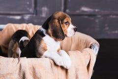 小猎犬小狗在篮子坐 库存照片