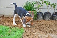 小猎犬小狗开掘地面 免版税库存照片