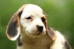 小猎犬小狗 库存图片