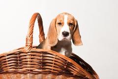 小猎犬小狗 免版税库存图片