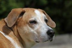 小猎犬混合 免版税库存图片
