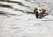 小猎犬游泳 库存照片