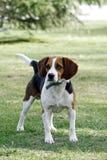 小猎犬狗。 免版税图库摄影