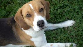 小猎犬狗下来坐看往照相机,慢动作的草